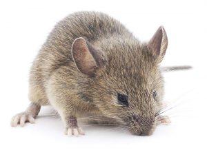 Piège à souris : quels sont les différents types des pièges à souris ?